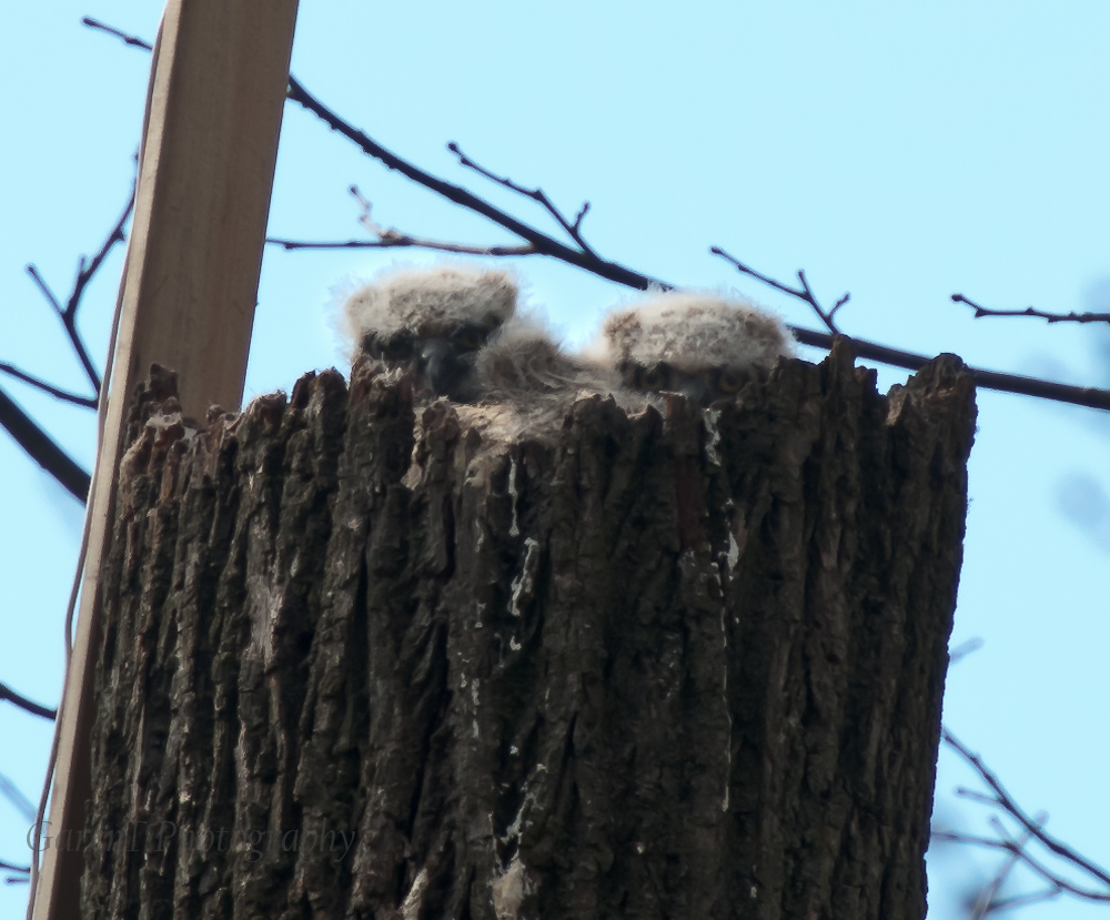 Baby Great Horned Owls peeking out of the nest