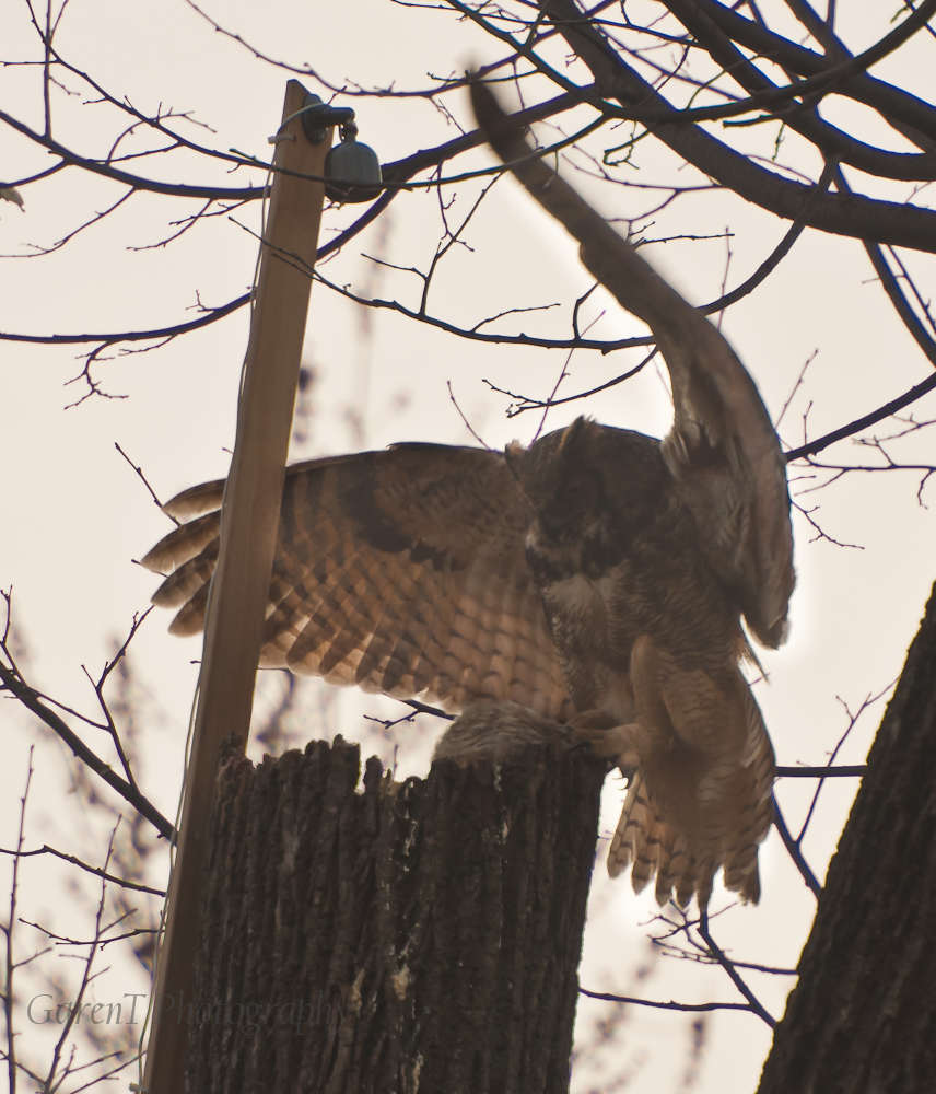 Great HOrned OWl landing at the nest