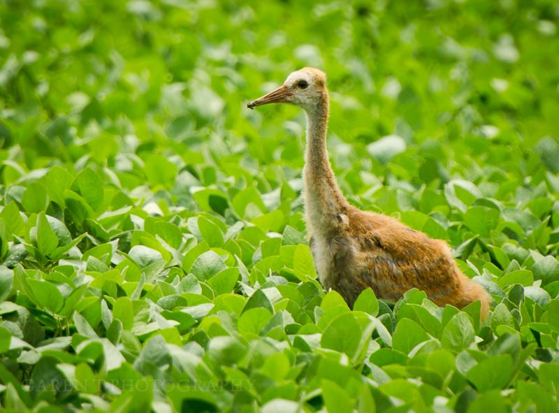 Juvenile Sandhill Crane