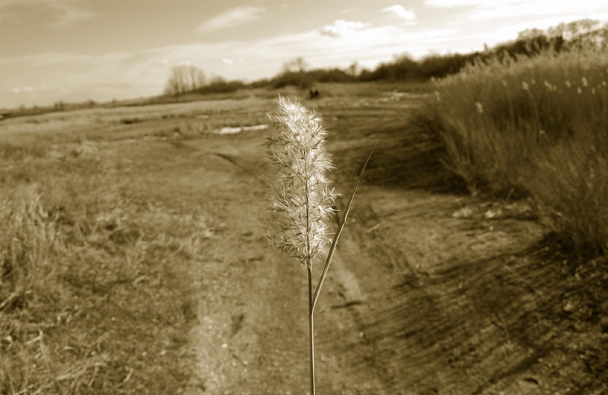 Sepia Weeds