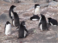1banded_penguins