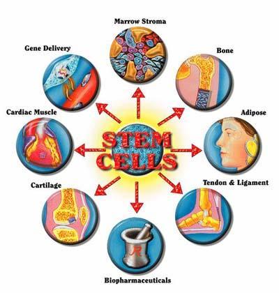 stem cells 22 July 2011.JPG